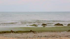Meerespflanzenstrand Seelandschaft mit Algen Hintergrund des Meeres stock video