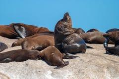 Meeressäugetierparks der Seedichtung und Reserven von Südafrika lizenzfreie stockfotos