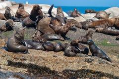 Meeressäugetierparks der Seedichtung und Reserven von Südafrika lizenzfreies stockbild