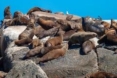 Meeressäugetierparks der Seedichtung und Reserven von Südafrika lizenzfreie stockfotografie