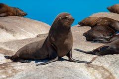 Meeressäugetierparks der Seedichtung und Reserven von Südafrika stockfoto