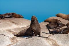 Meeressäugetierparks der Seedichtung und Reserven von Südafrika stockbild