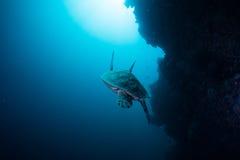 Meeresschildkröte Lizenzfreie Stockfotografie