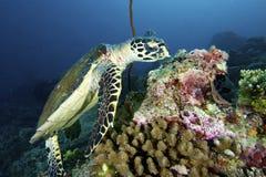 Meeresschildkröte lizenzfreies stockfoto