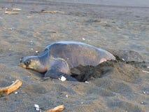 Meeresschildkröte auf dem Sand Stockfotografie
