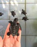 Meeresschildkröte auf der Hand vor erstem Schwimmen im Pool mit Familie Reptilneugeborenes ausgebrütet vom Ei Lizenzfreies Stockfoto