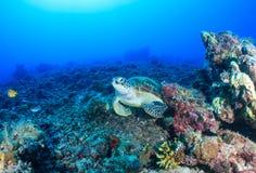 Meeresschildkröte auf einem toten Korallenriff Stockfoto