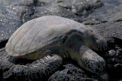 Meeresschildkröte bei Mahai 'ula Strand, Hawaii stockbild