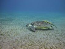 Meeresschildkröte, die über dem Meeresgrund schwimmt stockfoto