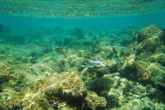 Meeresschildkröte, die nahe Riff schwimmt Lizenzfreie Stockbilder