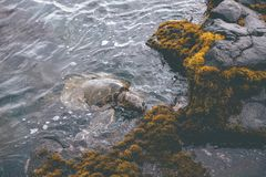 Meeresschildkröte, die nahe Ufer in Kona, Hawaii isst Stockfoto