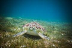 Meeresschildkröte, die Seegras im Hafen von Johannes, die Jungferninseln isst stockfotografie