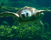 Meeresschildkröte, die Sie betrachtet Stockbild