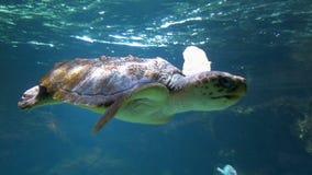 Meeresschildkröte, die unter Wasser in einem Aquarium schwimmt stock video