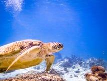 Meeresschildkröte im Blau Stockfoto