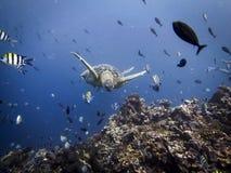 Meeresschildkröte im Blau Stockbild