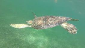 Meeresschildkröte-Oberflächen stock video