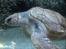 Meeresschildkröte und Fischschwarm Lizenzfreies Stockbild