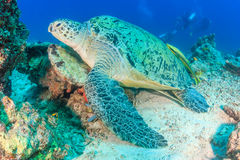 Meeresschildkröte und Taucher Stockbild