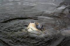 Meeresschildkröteerwachsener Lizenzfreie Stockfotos
