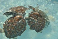 Meeresschildkröten Lizenzfreie Stockfotos