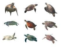 Meeresschildkrötesammlung lokalisiert auf Weiß Stockfotos