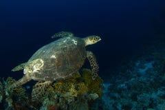Meeresschildkröteschwimmen über den firel Korallen stockbilder