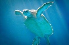 Meeresschildkröteschwimmen in Curaçao Stockfotos