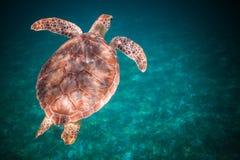 Meeresschildkröteschwimmen im Hafen von Johannes, die Jungferninseln stockfotografie
