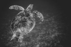 Meeresschildkröteschwimmen im Hafen von Johannes, die Jungferninseln schwärzen stockfotos