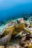 Meeresschildkröte, die auf dem Riff in Sipadan, Malaysia sitzt Lizenzfreie Stockfotos