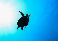 Meeresschildkröteschattenbild mit Sonnendurchbruch Lizenzfreies Stockfoto