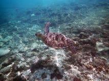 Meerestier-Suppenschildkröte, die über Koralle fliegt Stockbild