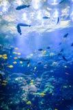 Meerestiere am Georgia-Aquarium USA mit Sporttauchern im Behälter lizenzfreies stockbild