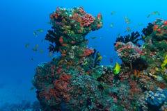 Meergoldies fischen, der Indische Ozean, Underwater Stockbilder