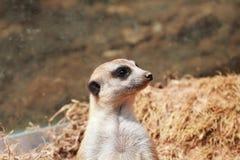 Meerkat(Suricata suricatta) royalty free stock images