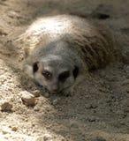 meerkat休息 库存图片