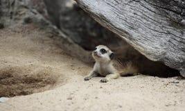 meerkat动物园 库存照片