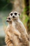 Meerkat在动物园里 免版税库存图片