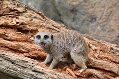 Meerkat在岩石走 库存图片