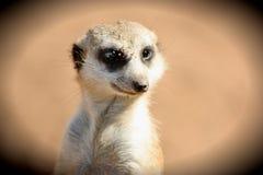 Meerkat在庄园里 免版税库存图片