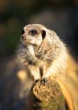 Meerkat在日志蹲下了 库存照片
