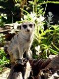 Meerkat在残破的树干栖息 库存图片