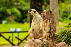 Meerkat在泰国 库存图片