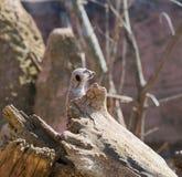 Meerkat在彻斯特动物园,彻斯特的海岛猫鼬类suricatta 库存照片