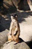Meerkat坐岩石 库存照片