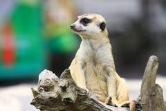 Meerkat坐注意 免版税库存照片