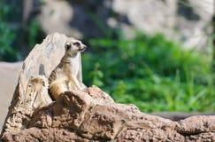Meerkat坐监视的岩石 库存图片