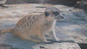 Meerkat坐石头 海岛猫鼬类在开放动物园里 影视素材