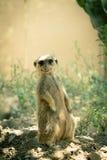 Meerkat守卫 免版税图库摄影